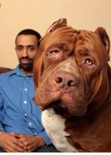 dünyanın en büyük pitbull köpeği hulk2