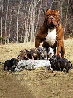 dünyanın en büyük pitbull köpeği hulk3
