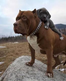 dünyanın en büyük pitbull köpeği hulk4