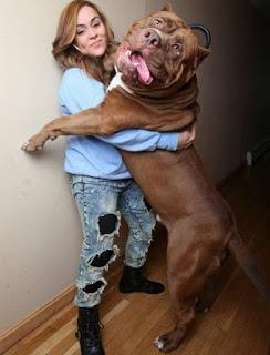 dünyanın en büyük pitbull köpeği hulk5