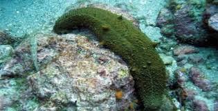deniz hıyarı resimleri5